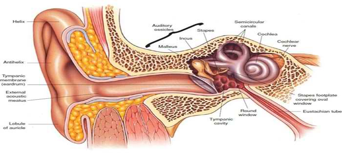 آناتومی گوش